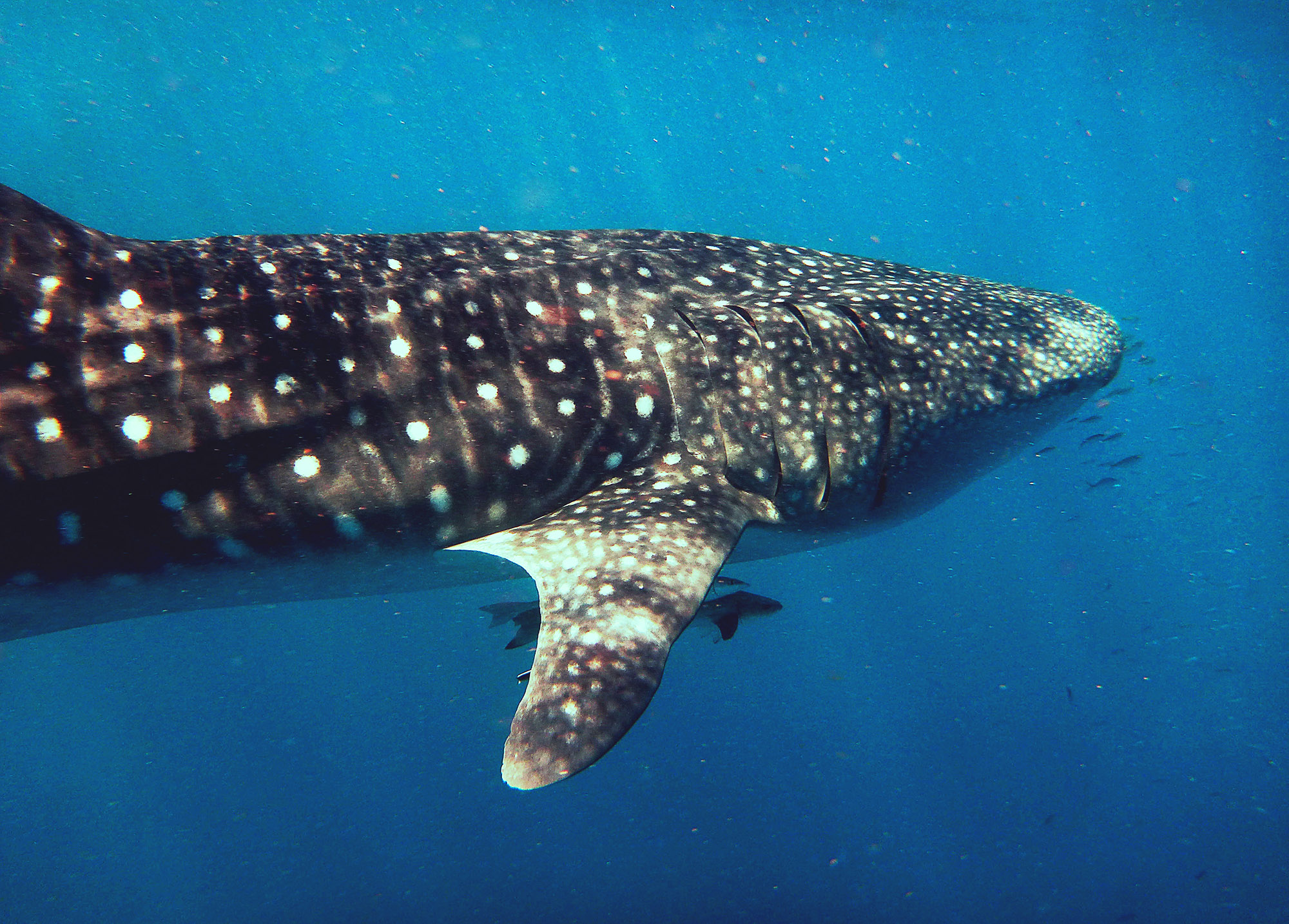 A whaleshark, ningaloo reef, Australia