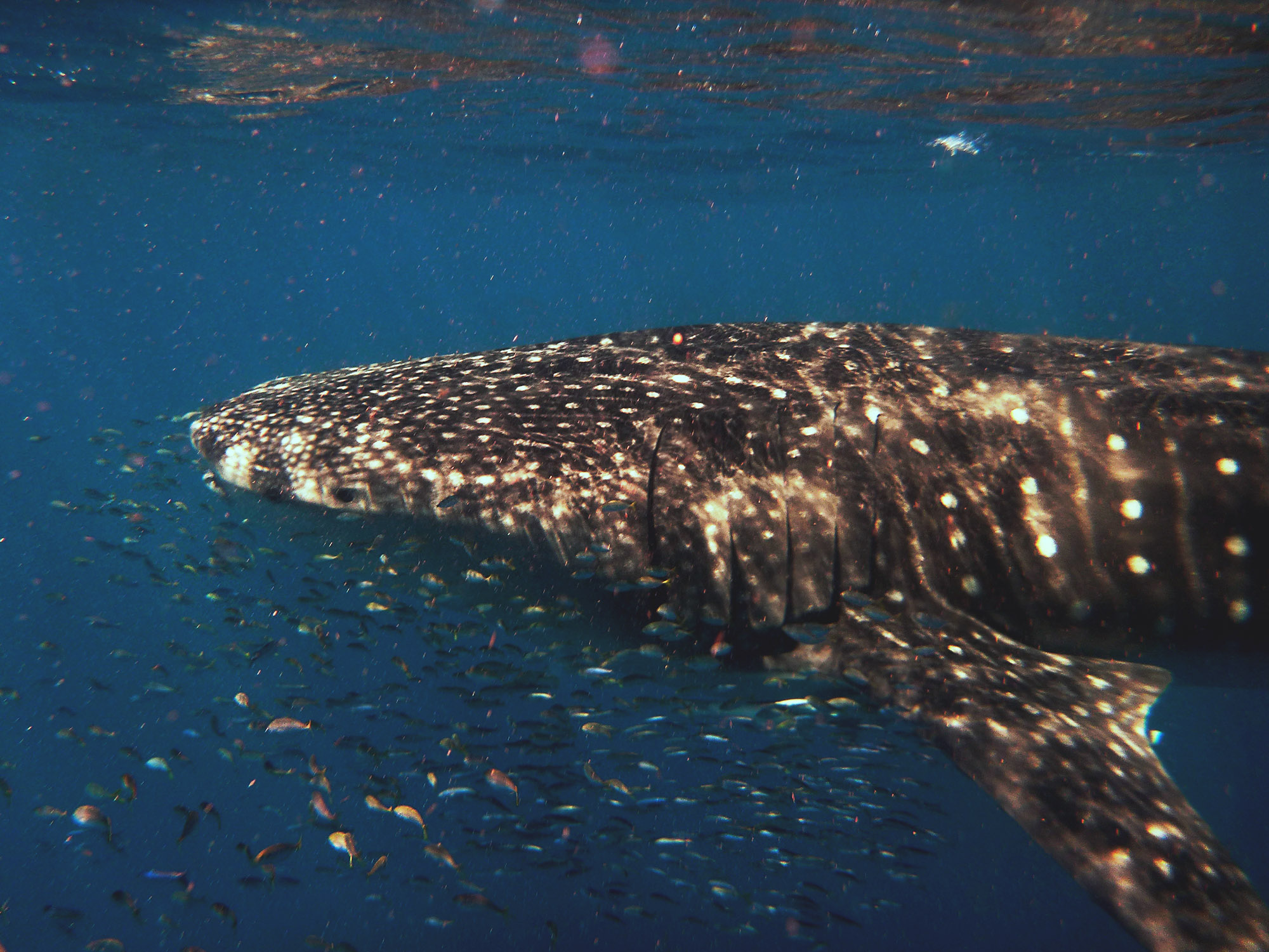 whaleshark swimming in the greater depts of the ningalo reef