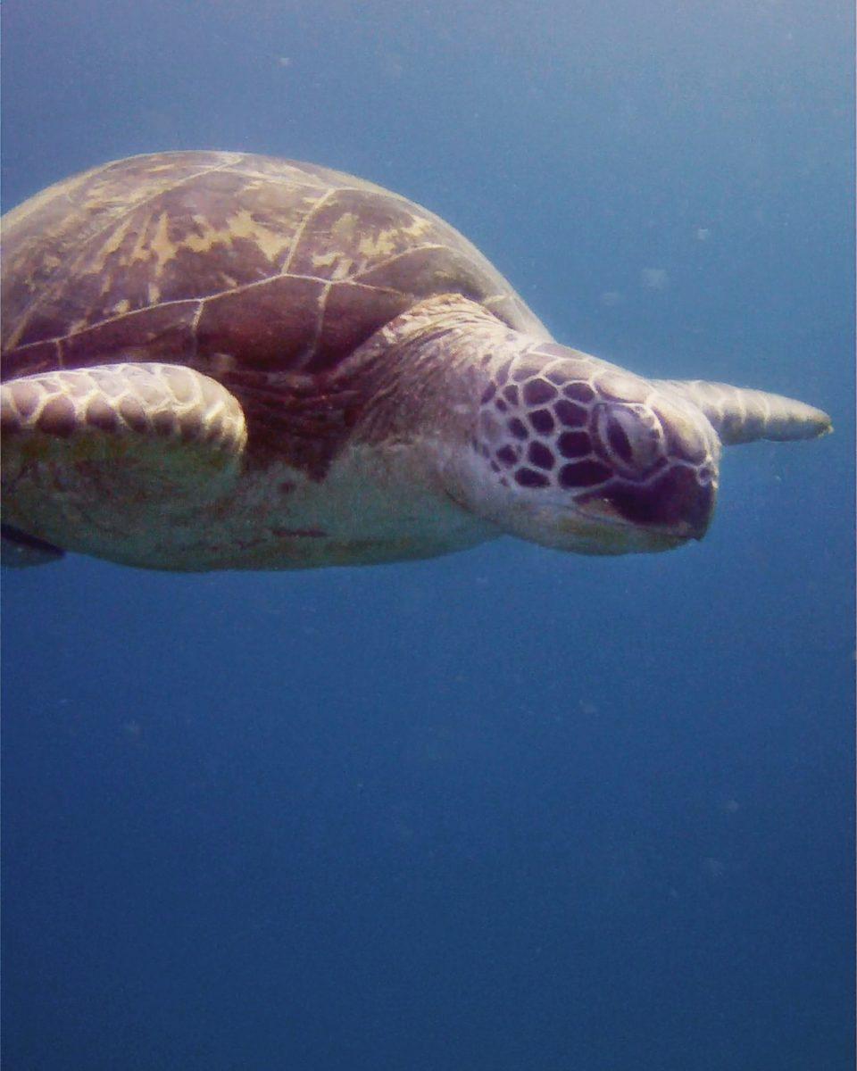 turtle, padi